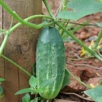 Víte jak správně vysévat, vysazovat a pěstovat okurky? Poradíme, jak mít bohatou a zdravou úrodu!