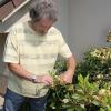 Za chvíli začnou odkvétat rododendrony, nezapomeťe odstranit zaschlá květenství!