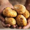 Jak správně přihrnovat brambory?