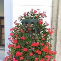 Nápady do našich zahrad – muškátová pyramida