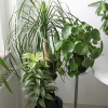 Letošní jaro za moc nestálo, a proto i teď ještě můžeme přesazovat pokojové rostliny!