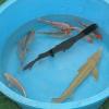 Netradiční ryby do vašich jezírek – veslonos americký
