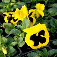 Kvetoucí truhlíky z macešek