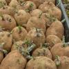 Blíží se doba výsadby brambor. Poradíme jak na ně!