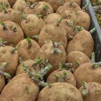Výsadba brambor je tady! Poradíme, jak na to…