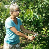 Letní řez ovocných dřevin krok za krokem…
