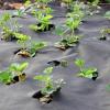 Jak správně v tomto suchém počasí vysadit jahody