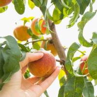 Ovocný strom z kontejneru, nebo prostokořenný? Zjistěte, který je pro vás lepší!