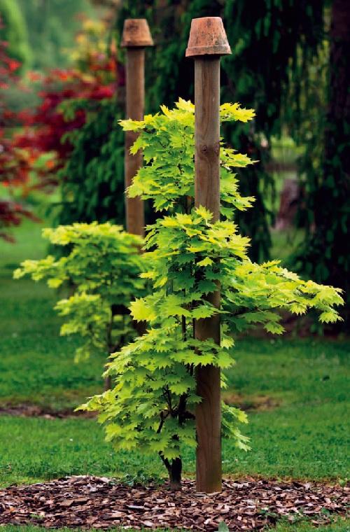 Javory - Acer japonicum