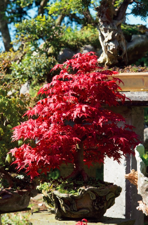 Javory - Acer palmatum