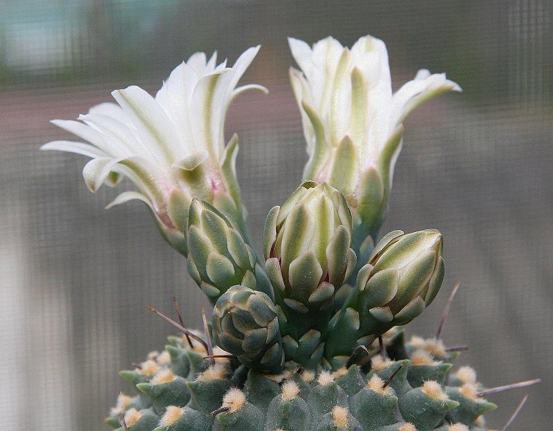 kaktus_květ