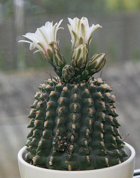 kaktus_rostlina