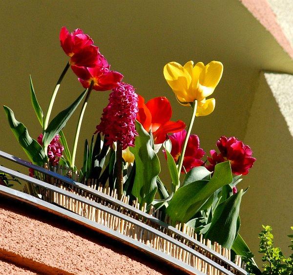 cibuloviny_balkon