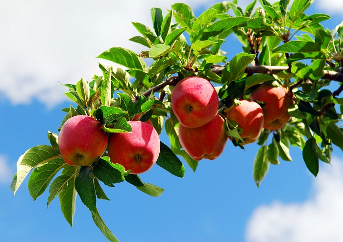 jablka_podzim