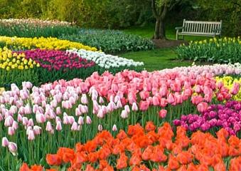 lavicka_tulipany