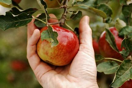 trhani_jablka