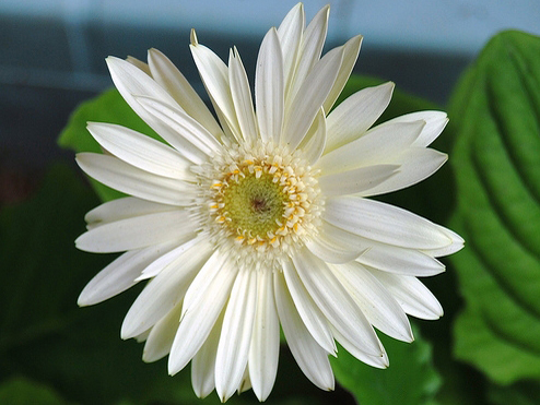 chrysanthema_10