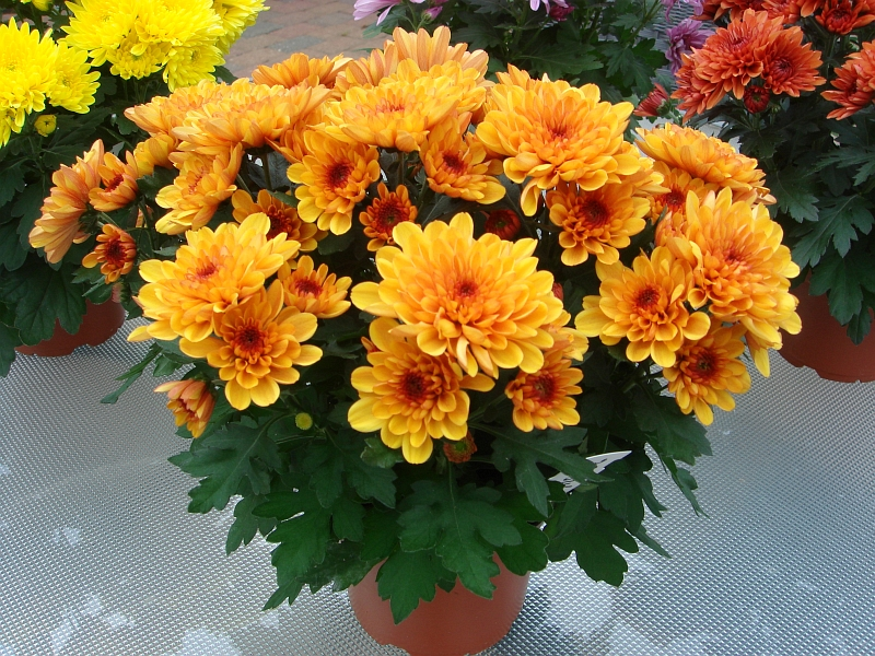 chrysanthema_11