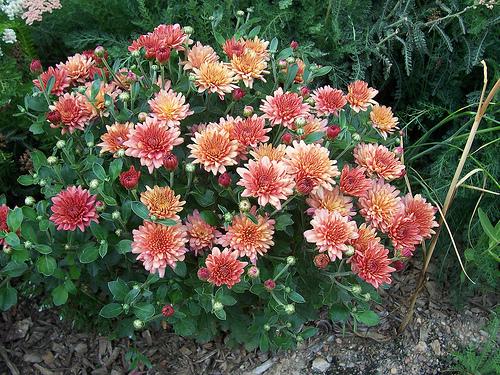 chrysanthema_7