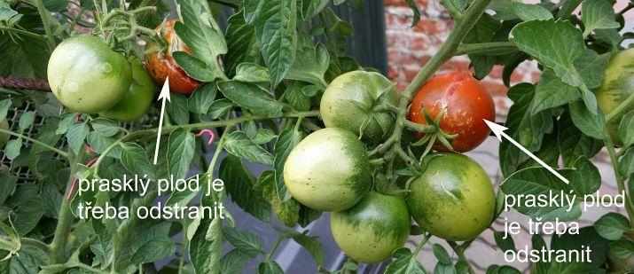 rajcata_co k dozrávání
