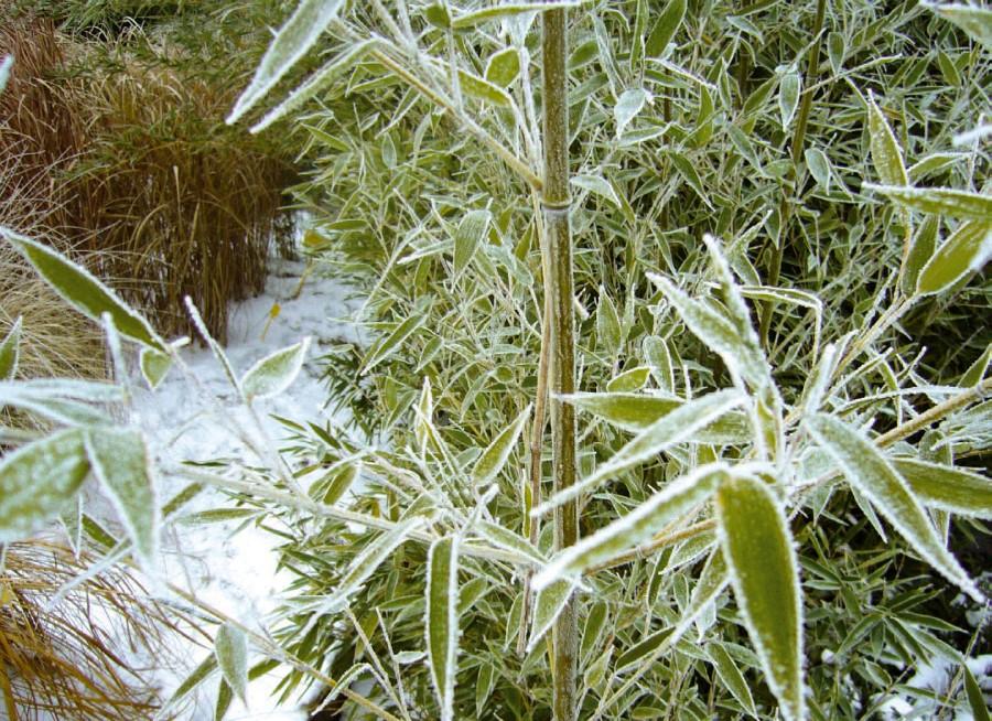 V zimě jsou bambusy stálezelené. Ojíněné listy a stébla působí jako z pohádky