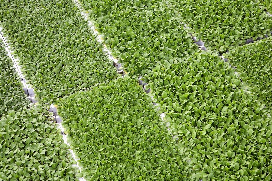 1 mladé rostlinky čekají na pře pikýrování