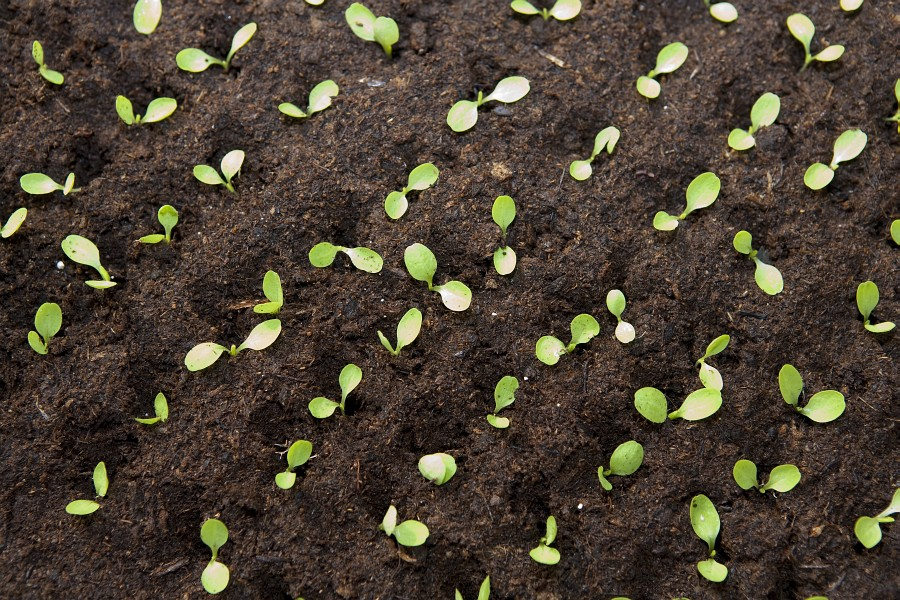 4 přepikýrované rostlinky