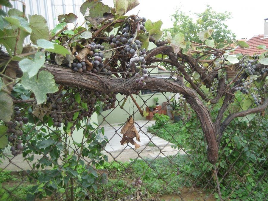 Vinná réva v nejběžnější podobě někde u plotu. Lepší je ale mít malou vinici!