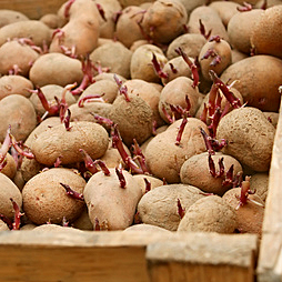 Potato tubers with germinated sprouts in wooden box before planting into the soil