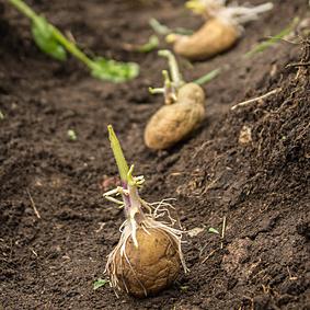 Zakořeněné sadbové brambory