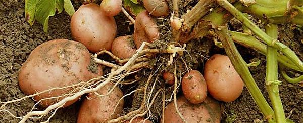 brambory_sklizen