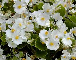 Begonia Semperflorens (sv.růžová, tm. růžová, bílá, červená)