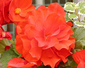 Begonia Tuberhybrida (mix barev)