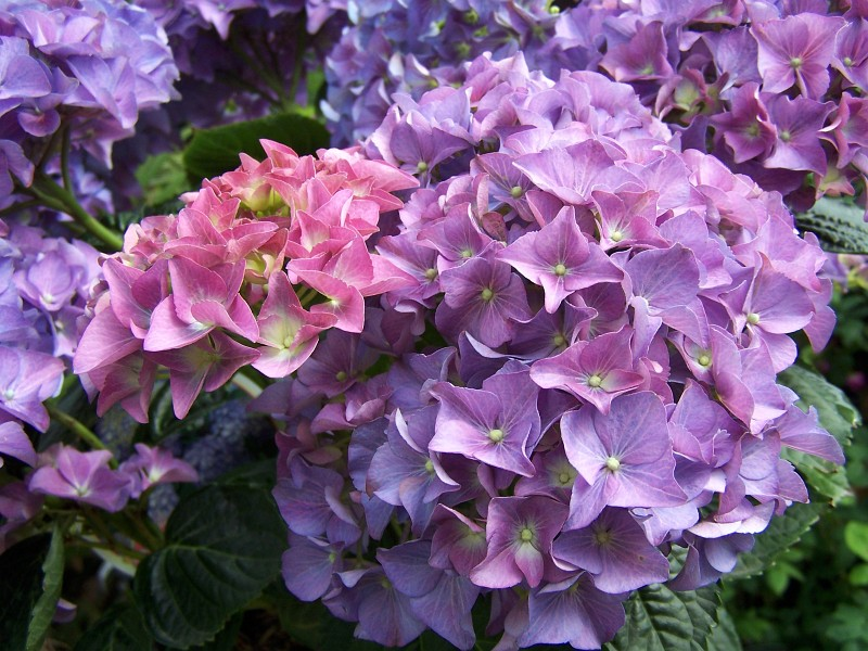 Detail květu hortenzie
