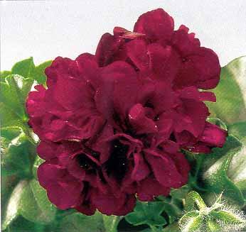 Pelargonium Peltatum plnokvěté (mix barev)