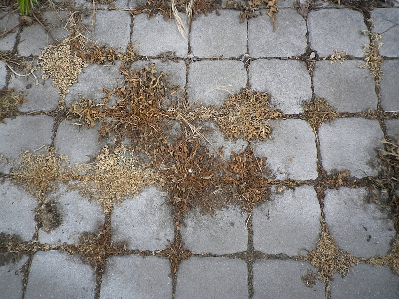 Plevel po aplikaci herbicidu