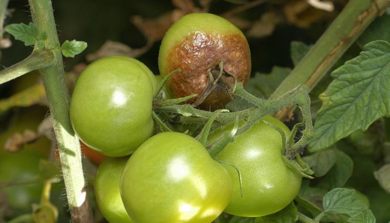 plisen bramborova na plodech rajčat