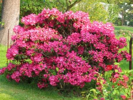 aby-rododendrony-pekne-kvetly-musime-se-o-ne-starat-i-na-podzim-a-v-zime