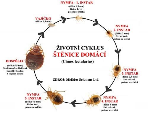 Cyklus štěnice