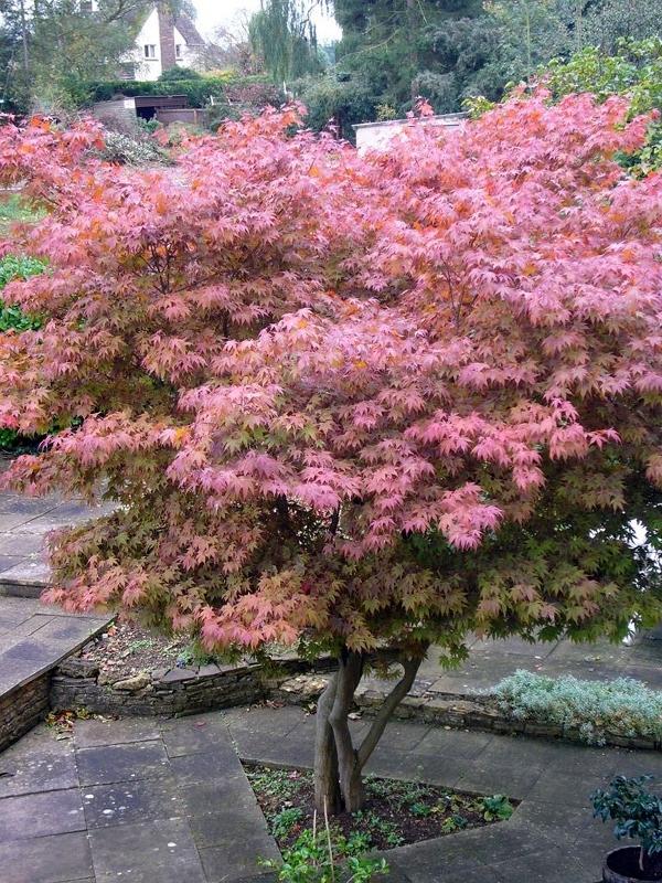 Acer palmatum střední velikosti - vícekmen