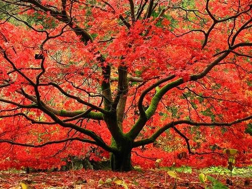 Podzimní vybarvení javorů je věčinou červené