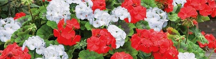 pelargonium_kvety
