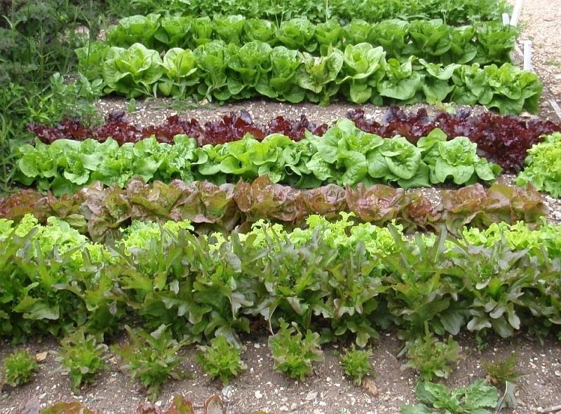 salat_zahon